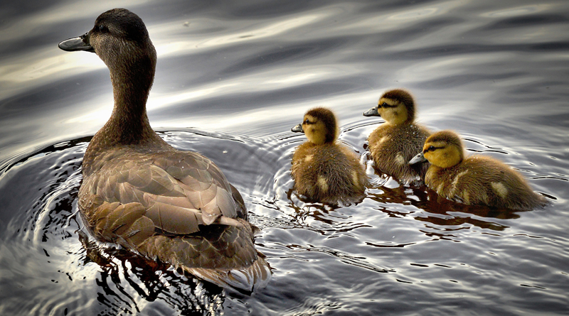 Man With PTSD Triumphant In Battle To Keep Ducks